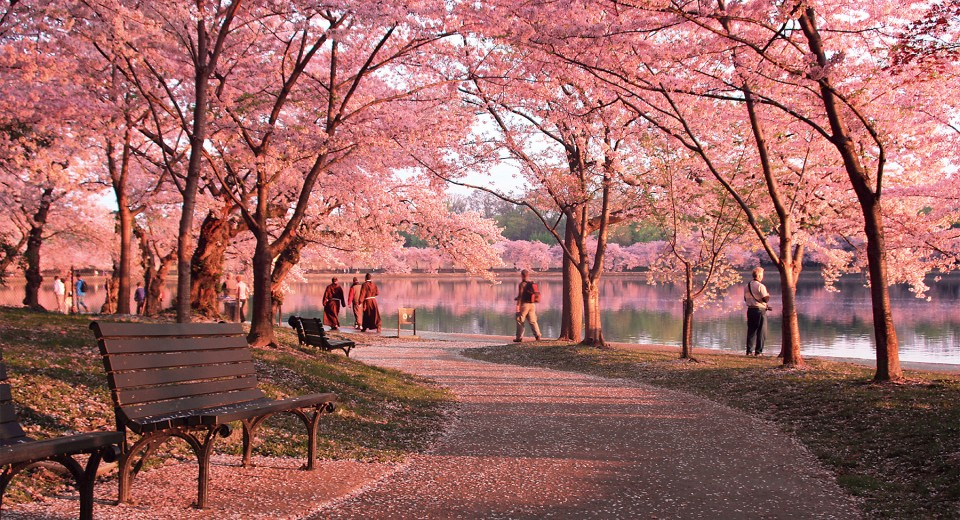 We're Getting Our Very Own Sakura Park